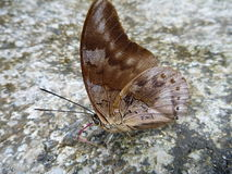 Brown red butterfly on a grey stone Royalty Free Stock Images