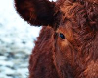 Brown and Red Cattle Stock Photography