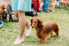Brown Red Longhaired Dachshund Dog Running Near Woman In Green G Stock Image