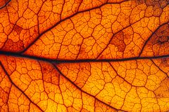 Brown, red and orange leaf rugged surface structure extreme macro closeup photo. With midrib parallel to the frame and visible leaf veins and grooves as a Royalty Free Stock Photos