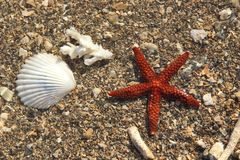 Brown red starfish in shallow water Stock Photography