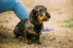Brown Red wire-haired Dachshund Dog play outdoor Royalty Free Stock Photo