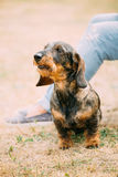 Brown Red wire-haired Dachshund Dog play outdoor Royalty Free Stock Photography