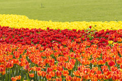 Brown and red and yellow tulips flowers Royalty Free Stock Image