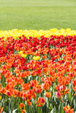 Brown and red and yellow tulips flowers Royalty Free Stock Images