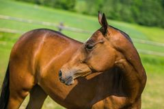 Brown reddish colored Akhal Teke horse. Mare with shiny hair standing in a paddock looking sideways, sunny spring day at a farm, green meadow and trees in royalty free stock photography