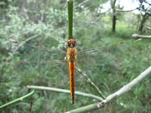 Brown-reddish dragonfly with red eyes on plant stem in Swaziland Stock Photography