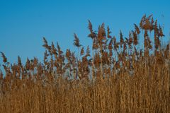 Brown Reed at the Chiemsee. In Bavaria Royalty Free Stock Photos
