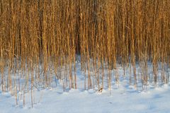 Brown Reed at the Chiemsee. In Bavaria Royalty Free Stock Photo
