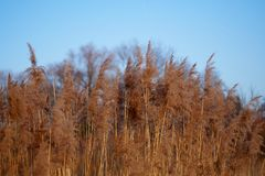 Brown Reed at the Chiemsee. In Bavaria Stock Photo