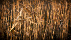 Brown Reeds Royalty Free Stock Photography