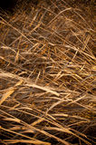 Brown Reeds. Long dry reeds wither in the summer heat Stock Image