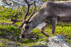 Brown reindeer of the Sami people along the road in Norway Royalty Free Stock Images
