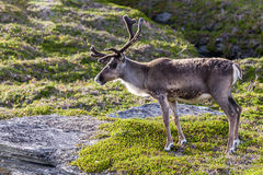 Brown reindeer of the Sami people along the road in Norway Royalty Free Stock Photography