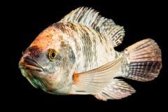Brown a repéré des poissons de Tilapia Photo libre de droits