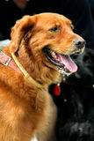 Brown retriever. Panting at a dog show Stock Photo