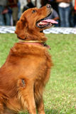 Brown Retriever. Retriever waiting for instructions from it's master Stock Image