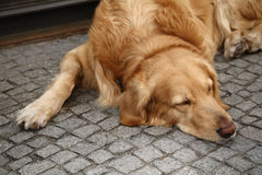 Brown retriever dog lying on the pavement looking sad. Cute brown retriever dog lying on the pavement looking sad Stock Image