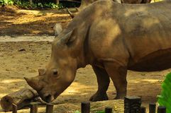 Rhinoceros in Singapore Zoo. The brown rhinoceros, commonly wondering in Sumatran forests is one of the animals exhibited in Singapore Zoo. It lives in muddy Royalty Free Stock Photography