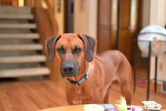 Brown Rhodesian Ridgeback szczeniaka pies zdjęcia royalty free