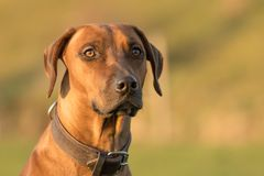 Brown Rhodesion Ridheback dog portrait in nature royalty free stock photos