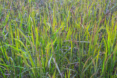 Brown rice  fields Royalty Free Stock Photo