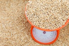 Brown rice paddy Royalty Free Stock Photos