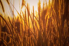 Brown Rice Wheats Royalty Free Stock Images