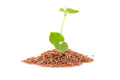 Free Brown Rice With Leaf Royalty Free Stock Photo - 33371905