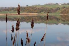 Brown ricopre con canne in priorità alta con il lago riflettente nel fondo in Irlanda immagini stock
