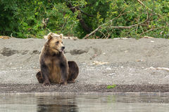 Brown riguarda la riva del lago Kurile Fotografia Stock