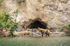 Brown riguarda la riva del lago Kurile Fotografia Stock Libera da Diritti