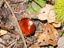 Brown ripe fresh sweet chestnuts on forest floor with green shel. Ls open; essex; england; uk Royalty Free Stock Images