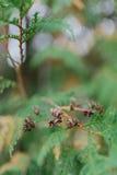 Brown rożki na gałąź Cedrowy drzewo Obraz Royalty Free