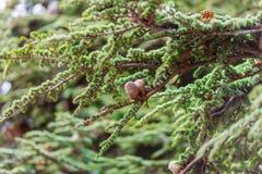 Brown rożki na gałąź conifer drzewo Obrazy Stock