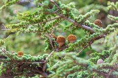 Brown rożki na gałąź conifer drzewo Fotografia Royalty Free