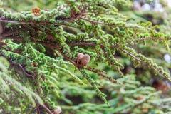 Brown rożki na gałąź conifer drzewo Obraz Royalty Free