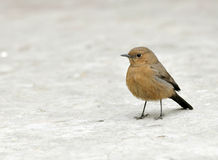 Brown Robin Royalty Free Stock Images