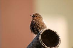 Brown robin Stock Photos