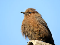 Brown robin Stock Images