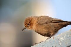 Brown robin Stock Photo