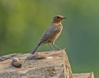 Brown Rock-chat Bird. Brown Rock-chat & x28;Cercomela fusca& x29; at Jim Corbett National Park, India Stock Images