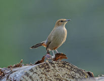 Brown Rock-chat Bird. Brown Rock-chat & x28;Cercomela fusca& x29; at Jim Corbett National Park, India Royalty Free Stock Image