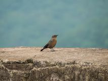Brown Rock Chat Bird Sitting on Old Fort-India. The brown rock chat or Indian chat bird sitting on the wall of an old fort near Indore, India Royalty Free Stock Image