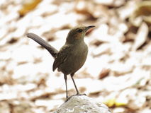 Brown Rock Chat Stock Image