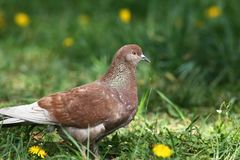 Brown rock pigeon walking in spring nature field. With green grass and yellow dandelions background Royalty Free Stock Photo