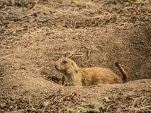 Prairie Dog on Alert at Its Burrow Stock Photos