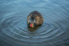 Brown rodent, coypu, Myocastor coypus in water. Brown rodent, coypu, Myocastor coypus, sitting in blue water holding red apple and feeding himself, big orange royalty free stock photo