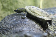 Brown roofed turtle. The brown roofed turtle climbing to the indian gavial Stock Photo