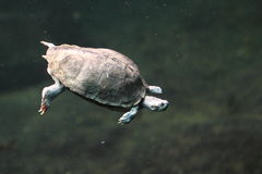 Brown roofed turtle. The brown roofed turtle in water Royalty Free Stock Photography